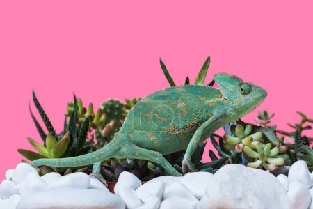 side view of cute exotic chameleon crawling on stones and succulents isolated on pink
