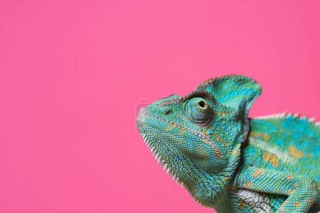 Photo for Close-up view of cute colorful exotic chameleon isolated on pink - Royalty Free Image