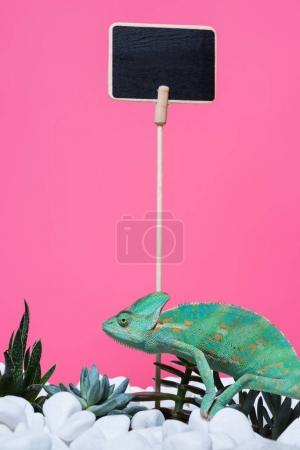 beautiful colorful chameleon crawling on stones with succulents and blank board isolated on pink