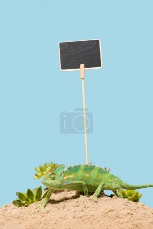 Photo for Cute colorful chameleon crawling on sand with succulents and blank card isolated on blue - Royalty Free Image