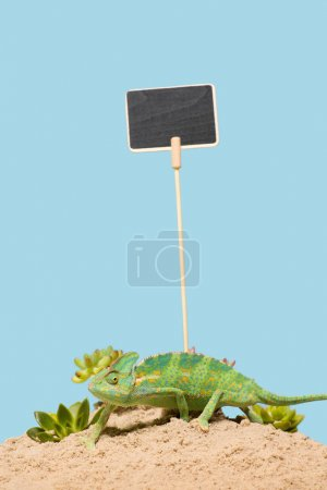 cute colorful chameleon crawling on sand with succulents and blank card isolated on blue