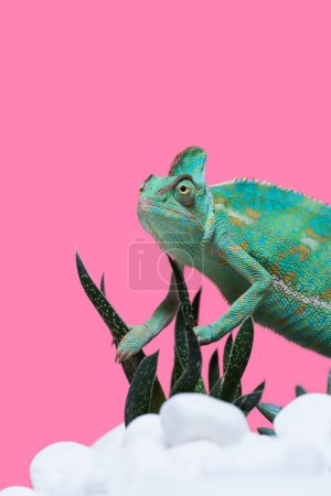 beautiful colorful exotic chameleon crawling on stones with succulents isolated on pink