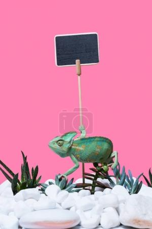beautiful exotic chameleon crawling on stones and succulents, blank sign isolated on pink