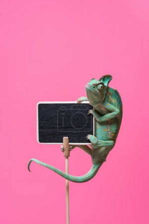 beautiful tropical chameleon crawling on blank board isolated on pink