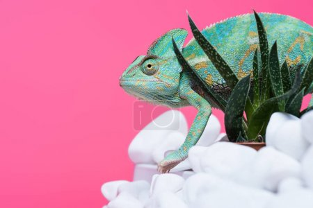 Photo for Side view of beautiful exotic chameleon on stones with succulents isolated on pink - Royalty Free Image