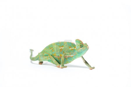 colorful tropical chameleon crawling isolated on white