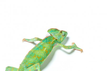 Photo for Beautiful colorful tropical chameleon crawling isolated on white - Royalty Free Image