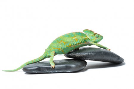 side view of cute colorful tropical chameleon on stones isolated on white