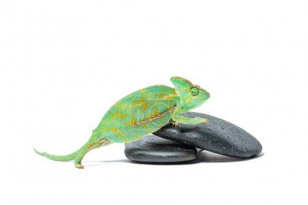 cute colorful tropical chameleon on stones isolated on white