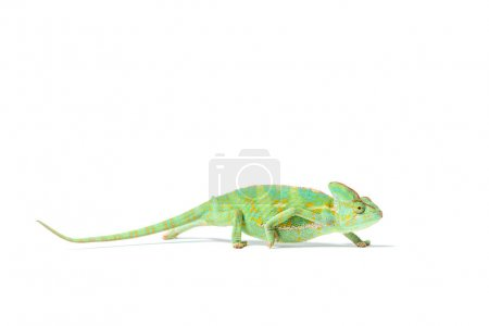 side view of colorful tropical chameleon crawling isolated on white