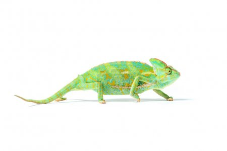 Photo for Close-up view of colorful tropical chameleon isolated on white - Royalty Free Image