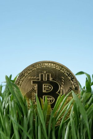 Close up view of golden bitcoin and green grass isolated on blue