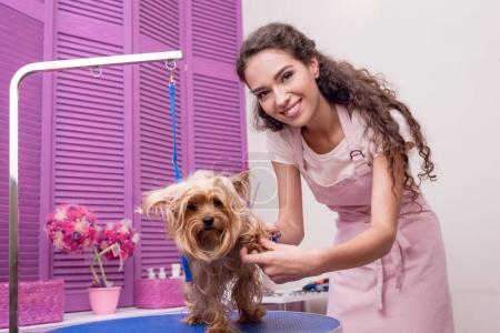 groomer grooming yorkshire terrier