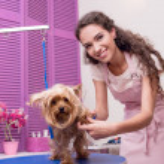 Постер, плакат: groomer grooming yorkshire terrier