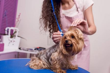 Photo for Cropped shot of professional groomer in apron cleaning ears of cute small furry dog - Royalty Free Image