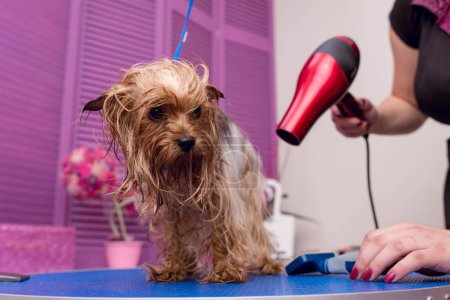 groomer drying dog