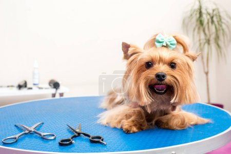 yorkshire terrier dog in pet salon