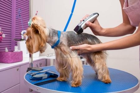 groomer trimming dog
