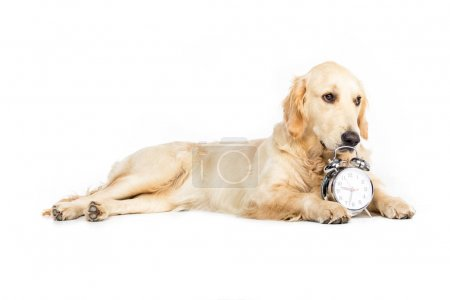 Photo for Golden retriever dog lying near alarm clock, isolated on white - Royalty Free Image
