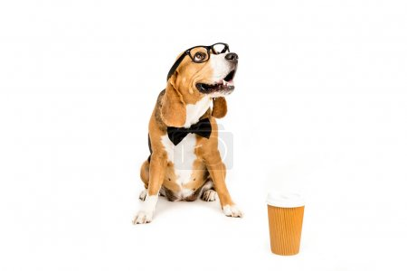 beagle in eyeglasses and bow tie