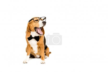 yawning dog in eyeglasses