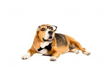 Photo pour Drôle chien beagle couché dans des lunettes et noeud papillon, isolé sur blanc - image libre de droit