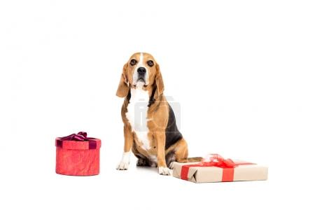 Dog with present boxes