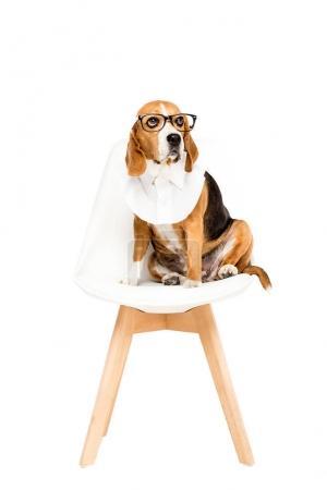 beagle dog in eyeglasses