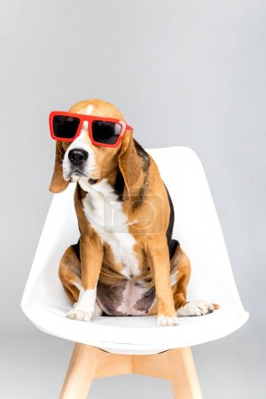 Beagle dog in sunglasses