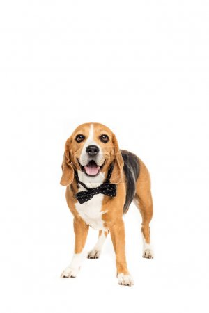 dog in bow tie