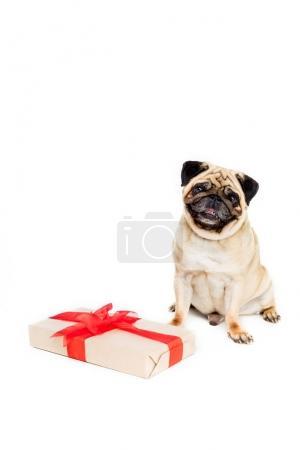 pug dog with gift