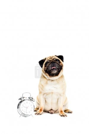 pug dog with alarm clock