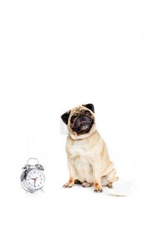 pug dog with alarm clock