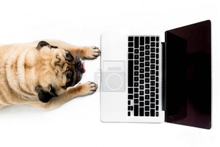 Pug dog with laptop