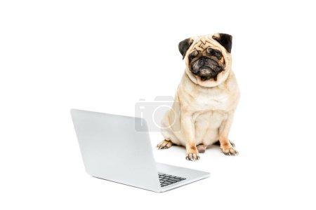 pug dog with laptop