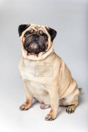 cute pug dog