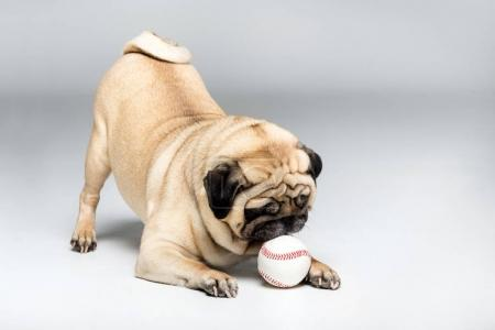 pug dog playing with ball