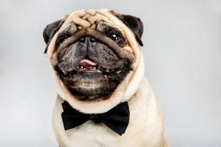 pug dog in bow tie