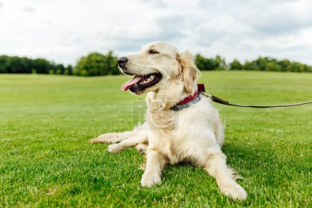 golden retriever dog on grass