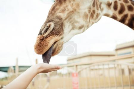girafe lèche main