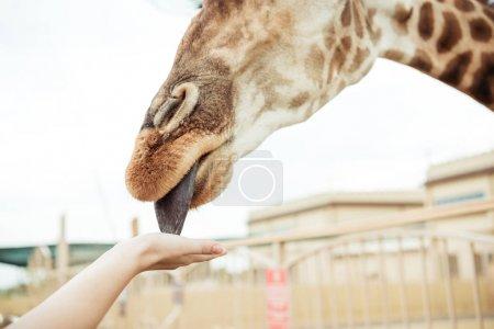 giraffe licking hand