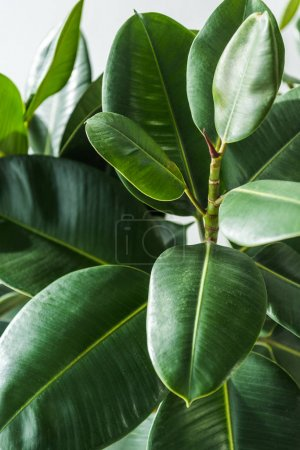 Photo for Closeup shot of a beautiful green house plant - Royalty Free Image