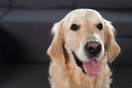 Foto de Closeup foto de un perro adorable golden retriever mirando a cámara - Imagen libre de derechos