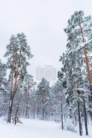 scenic view of beautiful snow covered trees in winter forest