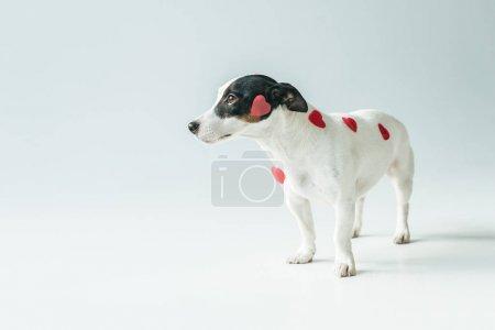 Photo pour Chien terrier Jack russell avec des coeurs rouges pour la Saint Valentin, sur blanc - image libre de droit