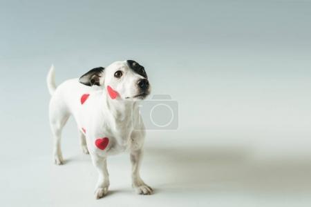 Photo pour Jack russell terrier à coeurs rouges pour la Saint Valentin, sur blanc - image libre de droit