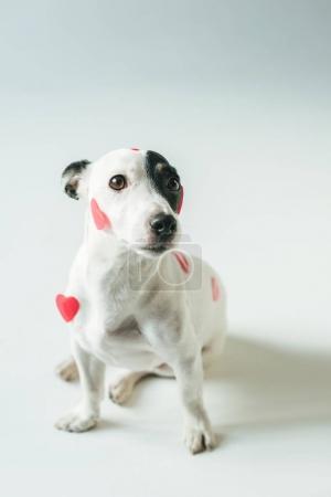 Photo pour Chien terrier Jack russell en coeurs rouges pour la Saint Valentin, sur blanc - image libre de droit