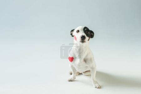 Photo pour Jack mignon chien terrier russell dans les coeurs rouges, blanc - image libre de droit