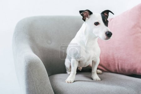 Photo pour Chien de terrier Jack russell assis sur fauteuil avec coussin - image libre de droit