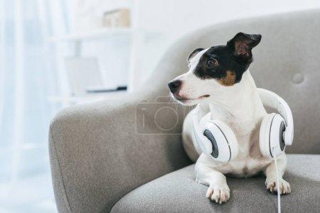Photo pour Jack russell terrier chien avec écouteurs à la maison - image libre de droit